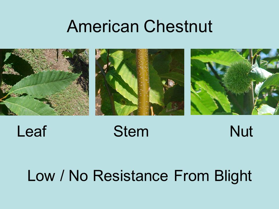 Low / No Resistance From Blight