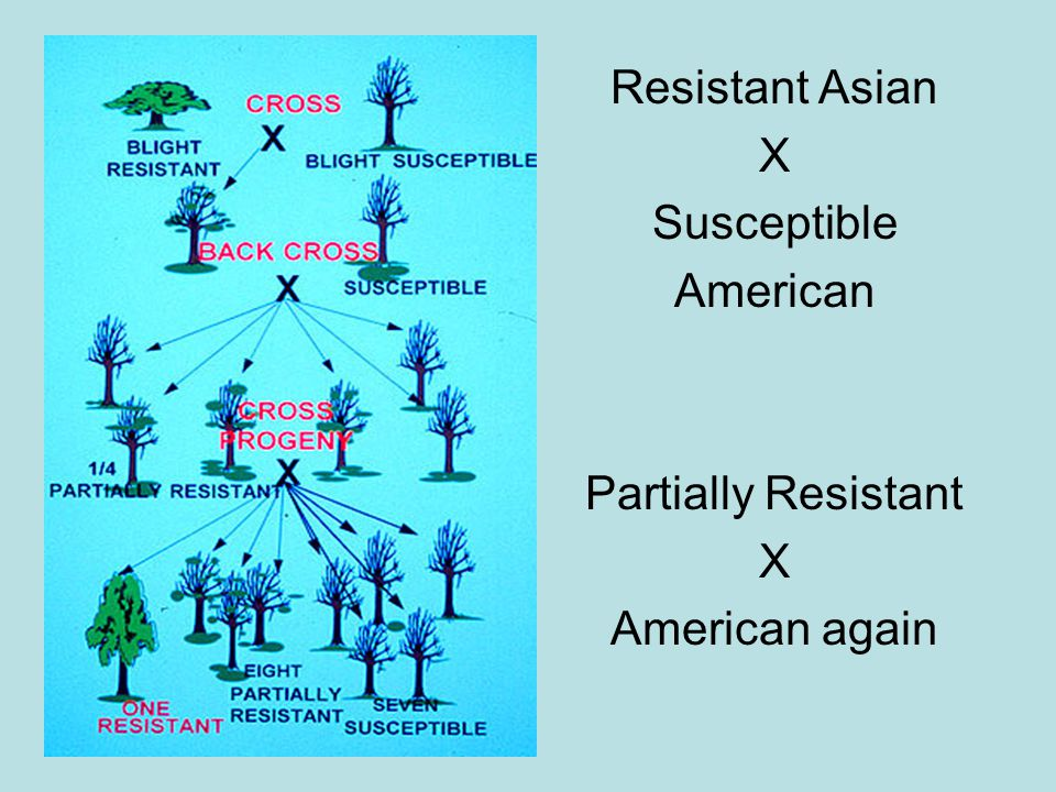 Resistant Asian X Susceptible American Partially Resistant American again