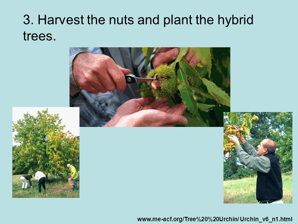 3. Harvest the nuts and plant the hybrid trees.