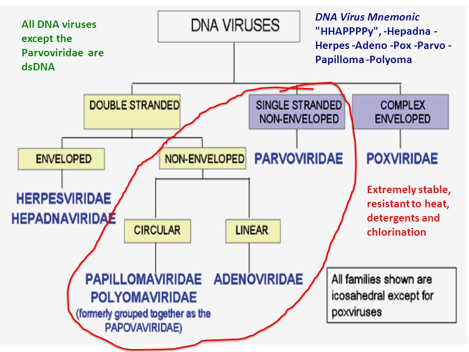 All DNA viruses except the Parvoviridae are dsDNA