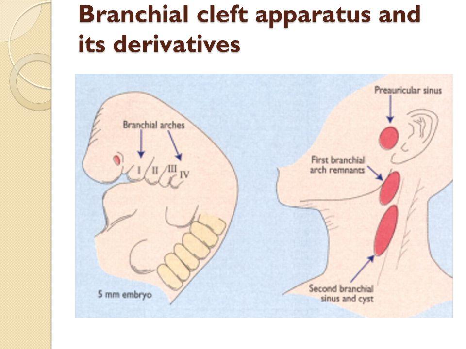 Dorable Preauricular Sinus Anatomy Photos - Anatomy And Physiology ...