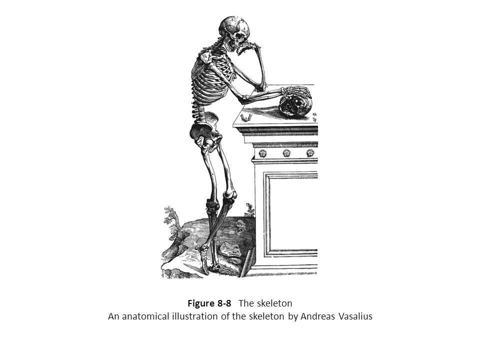 An anatomical illustration of the skeleton by Andreas Vasalius