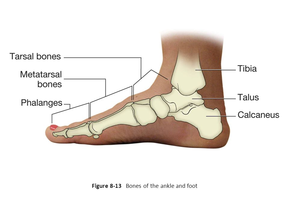 Figure 8-13 Bones of the ankle and foot