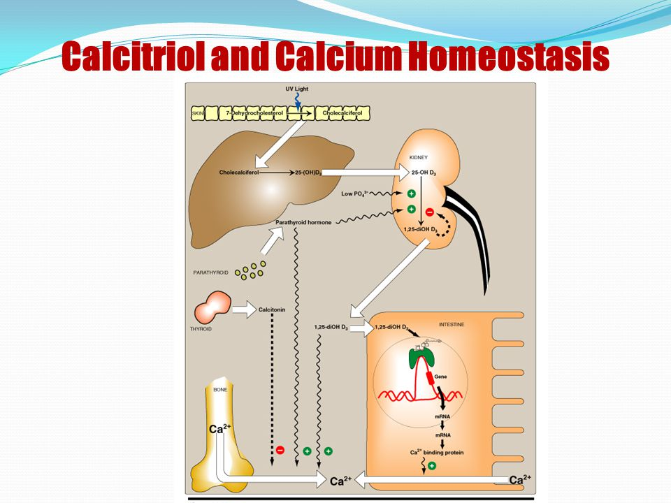 Calcitriol and Calcium Homeostasis