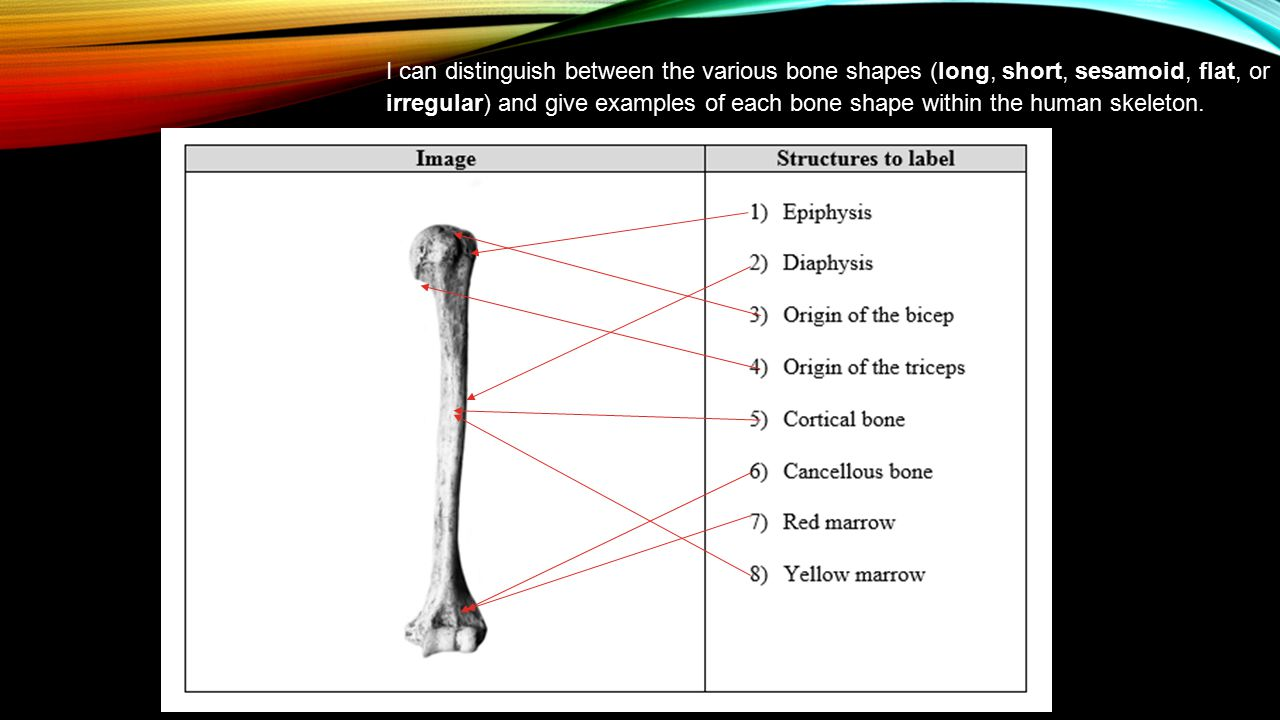 I can distinguish between the various bone shapes (long, short, sesamoid, flat, or irregular) and give examples of each bone shape within the human skeleton.