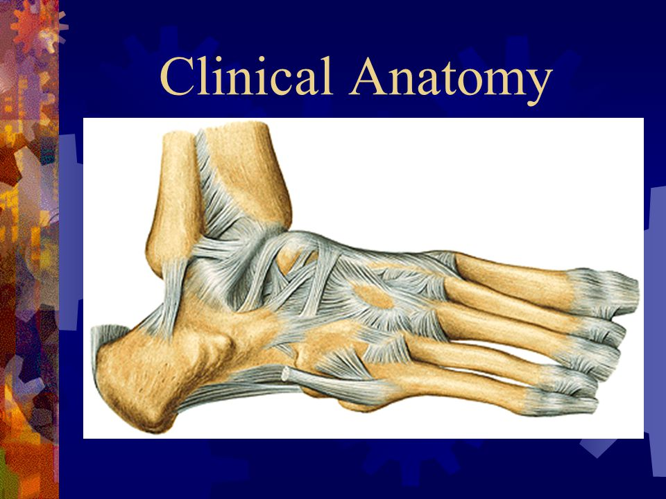 Clinical Anatomy The syndesmotic ligaments maintain stability between the distal tibia and fibula. Anterior tibiofibular ligament.