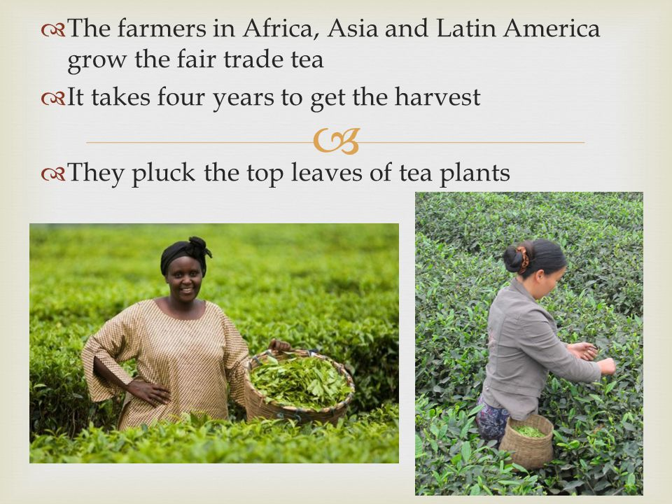 The farmers in Africa, Asia and Latin America grow the fair trade tea
