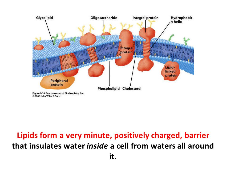 Lipids form a very minute, positively charged, barrier that insulates water inside a cell from waters all around it.