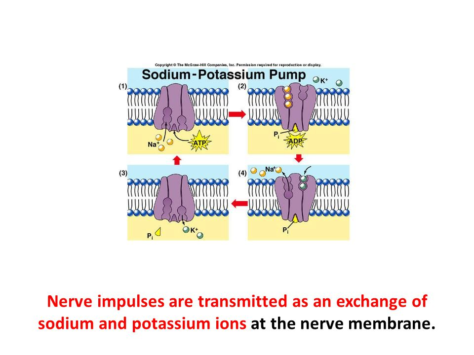 Nerve impulses are transmitted as an exchange of sodium and potassium ions at the nerve membrane.