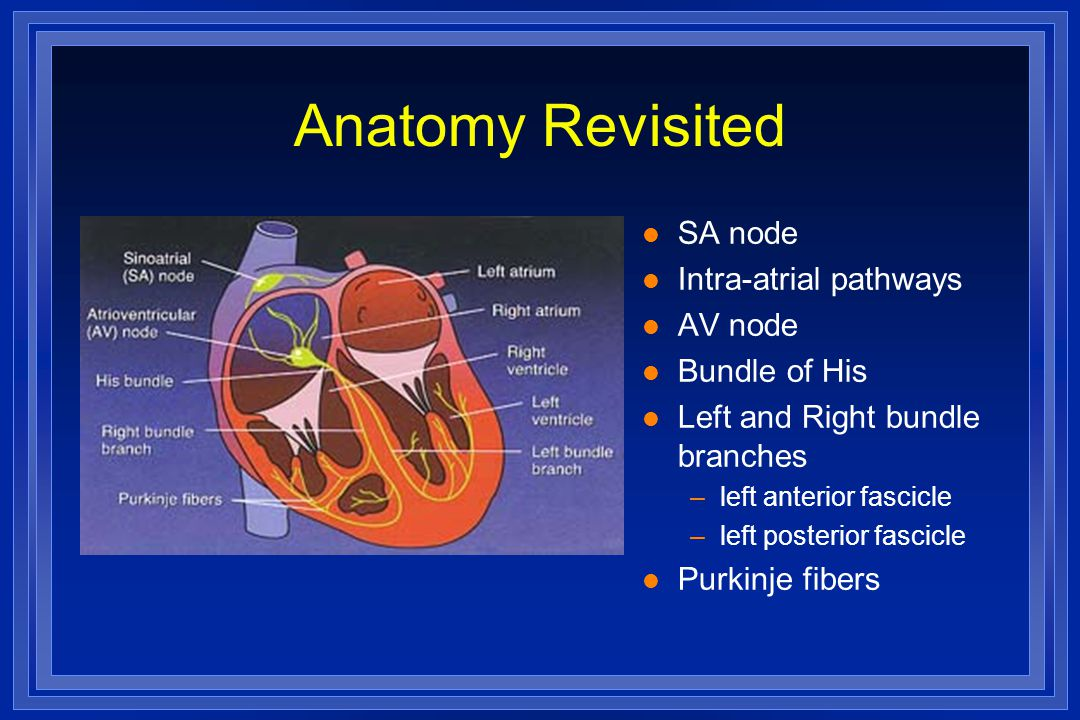 Anatomy Revisited SA node Intra-atrial pathways AV node Bundle of His
