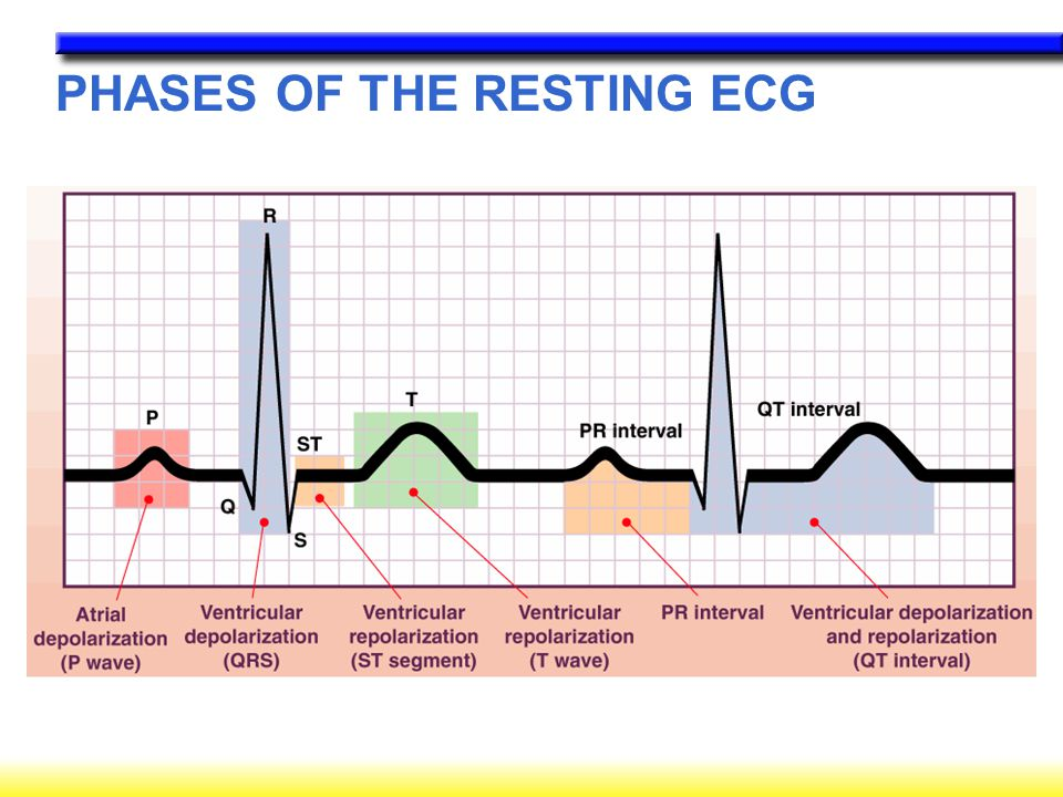 PHASES OF THE RESTING ECG