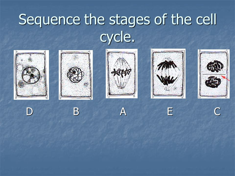 Sequence the stages of the cell cycle.
