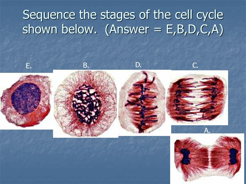 Sequence the stages of the cell cycle shown below. (Answer = E,B,D,C,A)