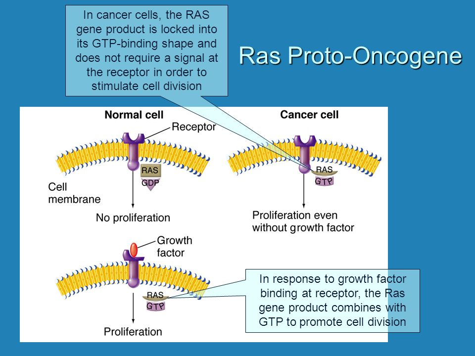 In cancer cells, the RAS gene product is locked into its GTP-binding shape and does not require a signal at the receptor in order to stimulate cell division