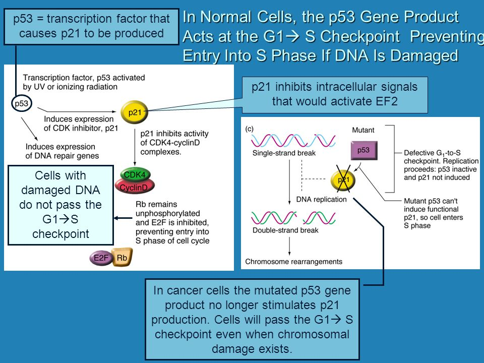 In Normal Cells, the p53 Gene Product Acts at the G1 S Checkpoint Preventing Entry Into S Phase If DNA Is Damaged