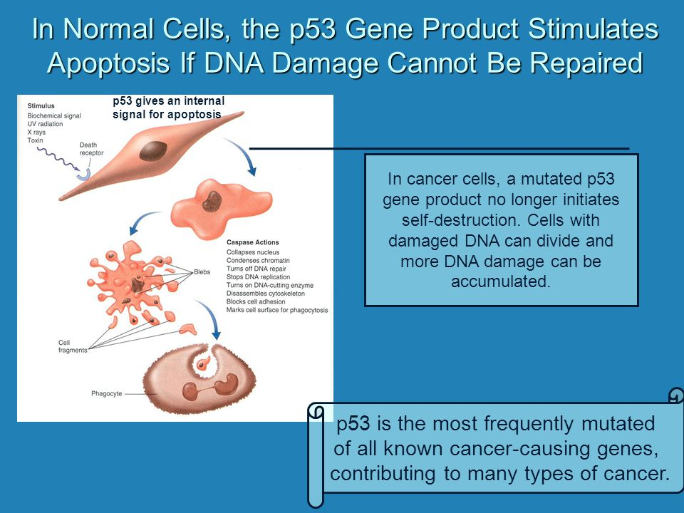 In Normal Cells, the p53 Gene Product Stimulates Apoptosis If DNA Damage Cannot Be Repaired