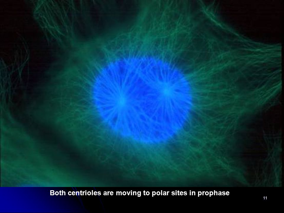 Both centrioles are moving to polar sites in prophase