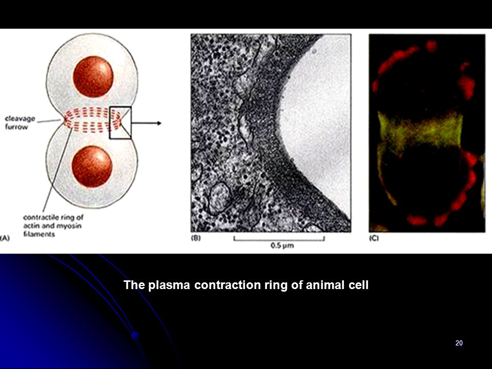 The plasma contraction ring of animal cell