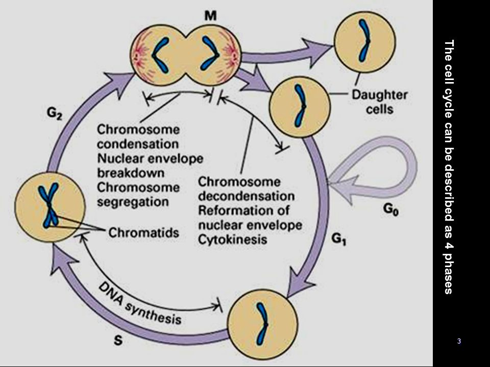 The cell cycle can be described as 4 phases