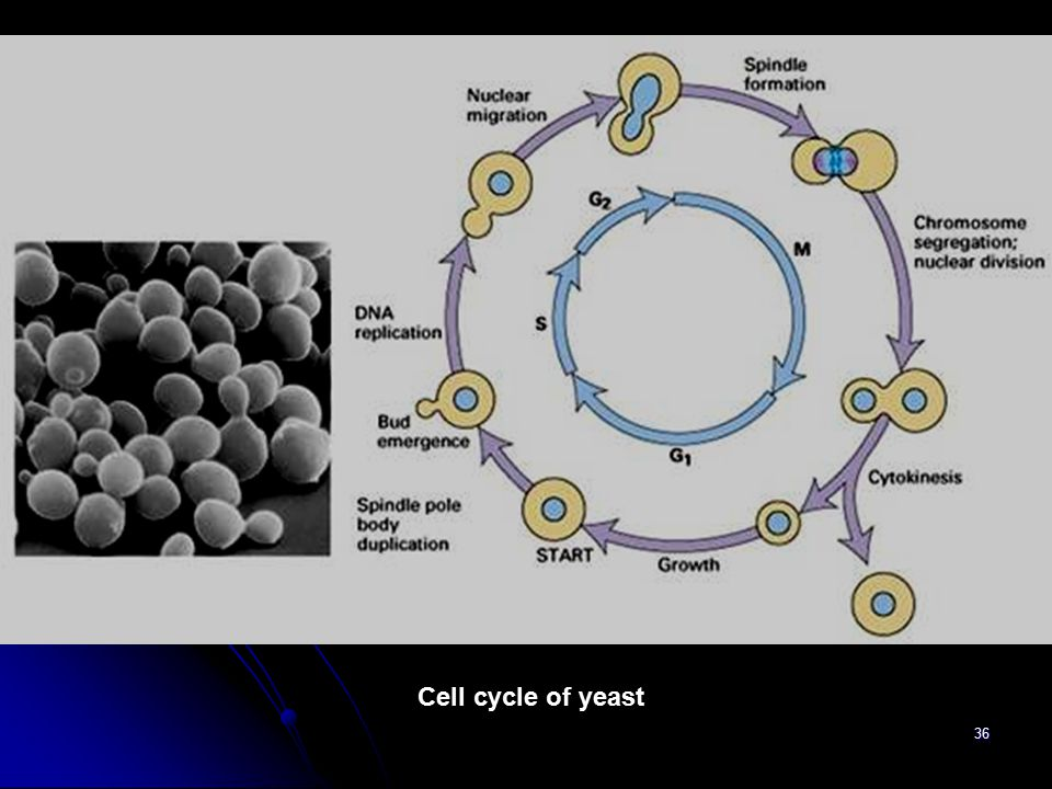 Cell cycle of yeast