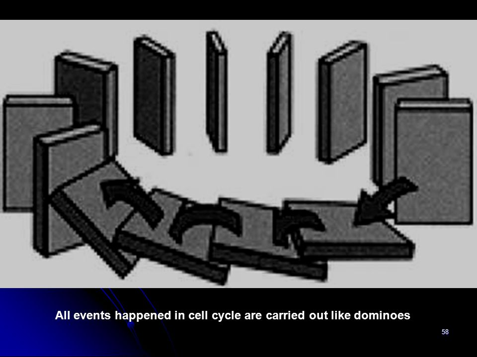 All events happened in cell cycle are carried out like dominoes