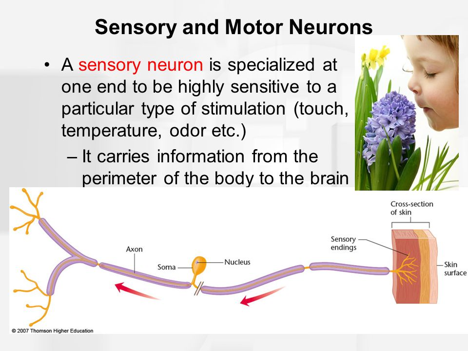 Sensory and Motor Neurons