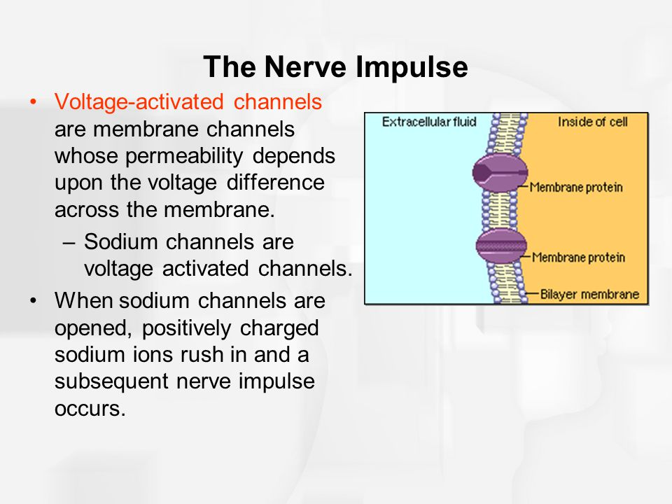 The Nerve Impulse Voltage-activated channels are membrane channels whose permeability depends upon the voltage difference across the membrane.