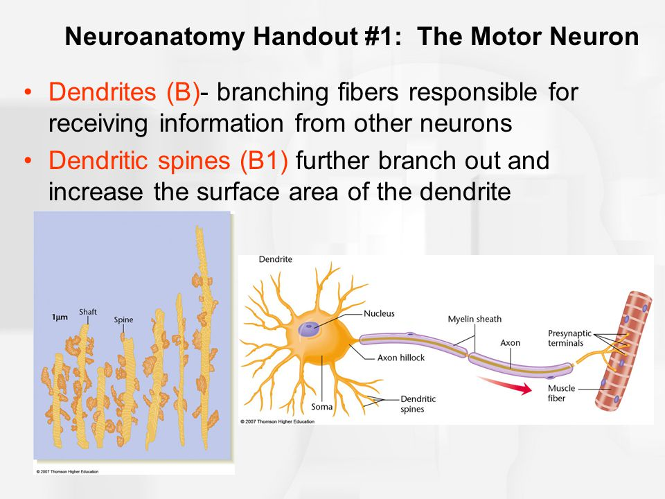 Neuroanatomy Handout #1: The Motor Neuron