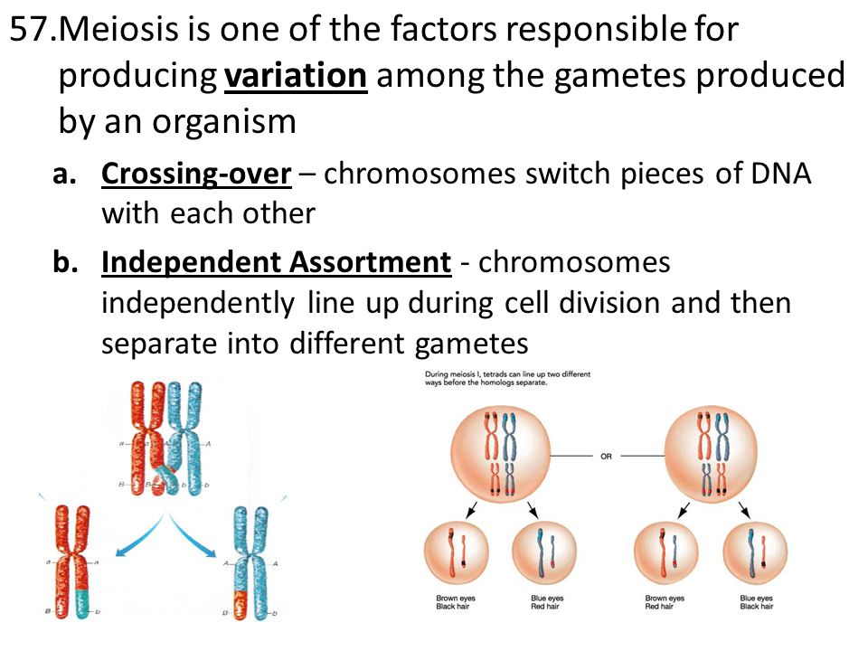 Meiosis is one of the factors responsible for producing variation among the gametes produced by an organism