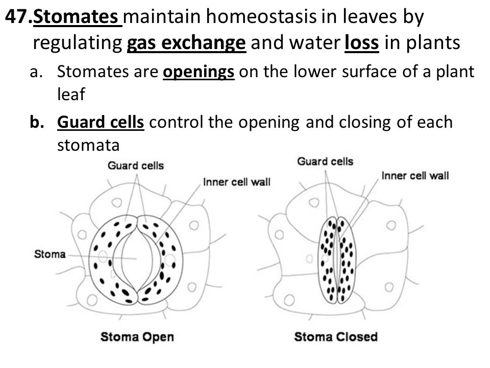 Stomates maintain homeostasis in leaves by regulating gas exchange and water loss in plants