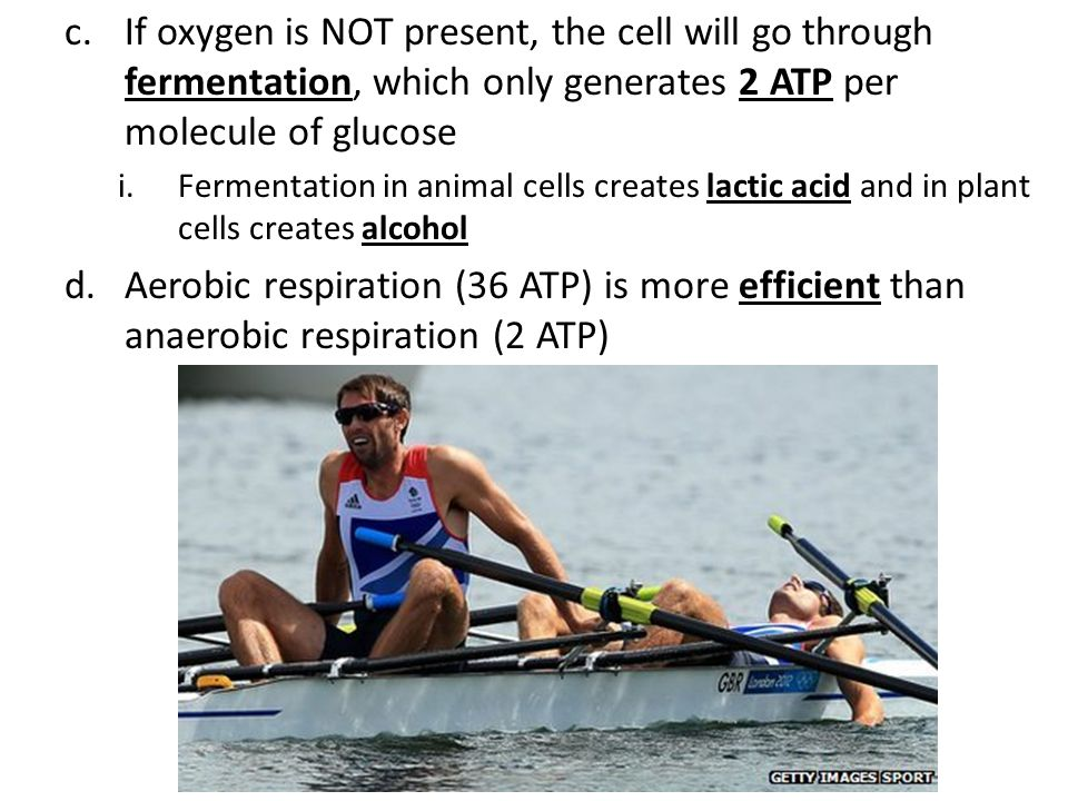 If oxygen is NOT present, the cell will go through fermentation, which only generates 2 ATP per molecule of glucose