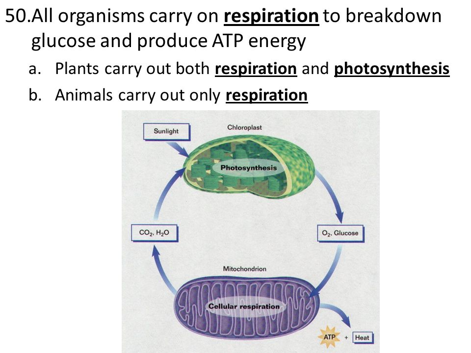 All organisms carry on respiration to breakdown glucose and produce ATP energy