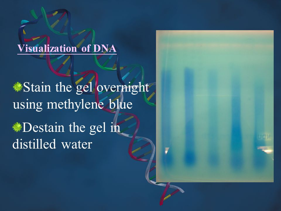 Stain the gel overnight using methylene blue
