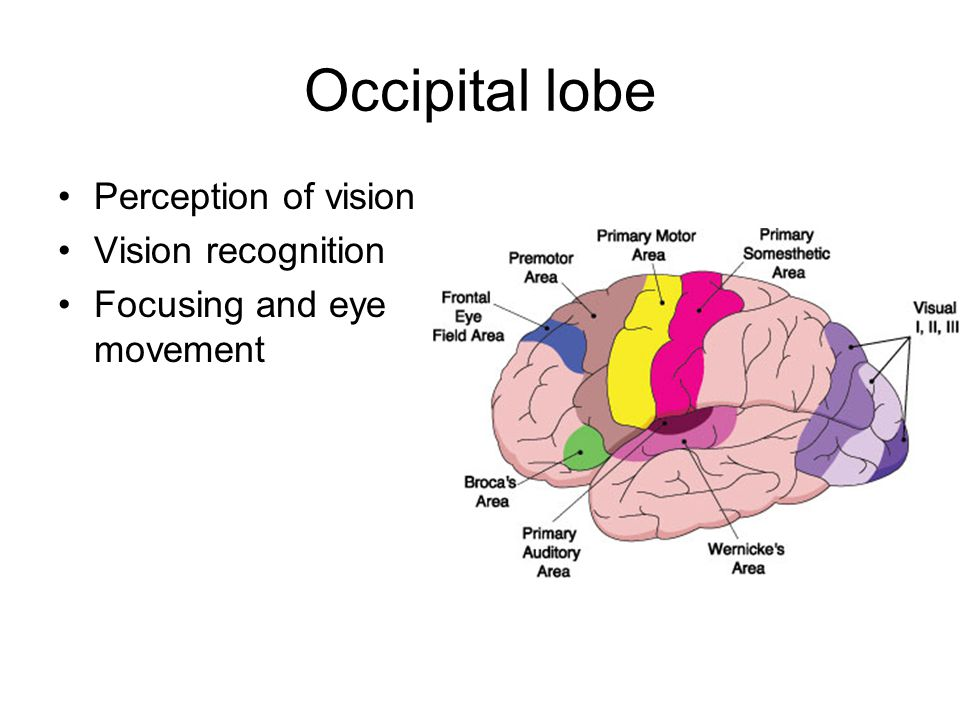 Occipital lobe Perception of vision Vision recognition