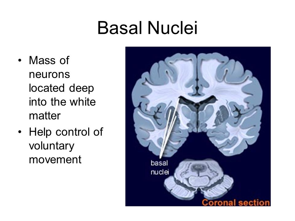 Basal Nuclei Mass of neurons located deep into the white matter