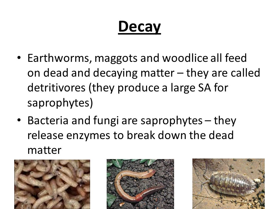 Decay Earthworms, maggots and woodlice all feed on dead and decaying matter – they are called detritivores (they produce a large SA for saprophytes)