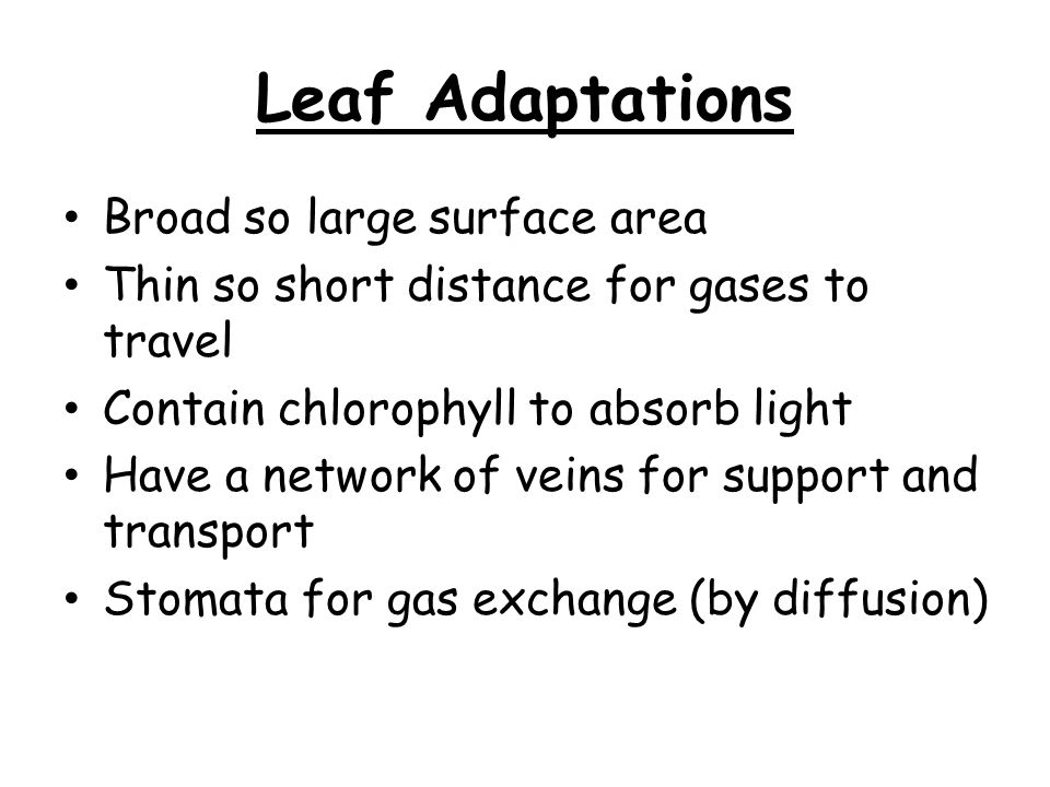 Leaf Adaptations Broad so large surface area