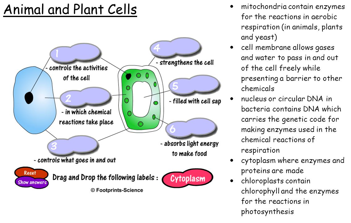 Animal and Plant Cells mitochondria contain enzymes for the reactions in aerobic respiration (in animals, plants and yeast)