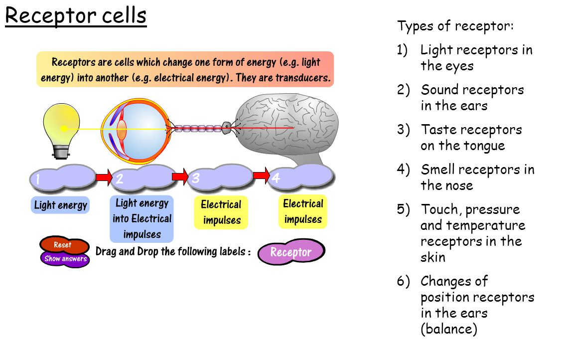 Receptor cells Types of receptor: Light receptors in the eyes