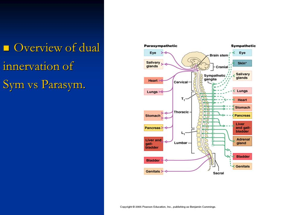Overview of dual innervation of Sym vs Parasym.