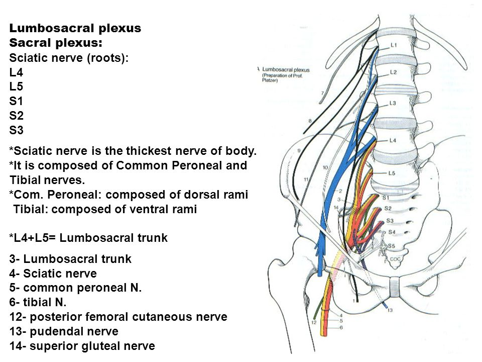 L5 S1 Diagram Pudendal Nerve - Wiring Library •