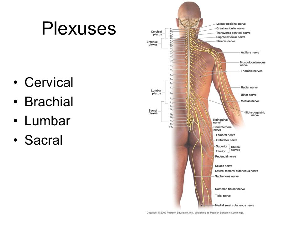 Lumbar and sacral plexuses - ppt video online download