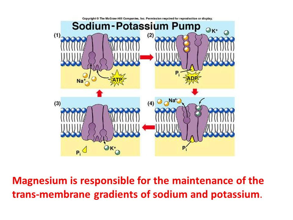 Magnesium is responsible for the maintenance of the trans-membrane gradients of sodium and potassium.
