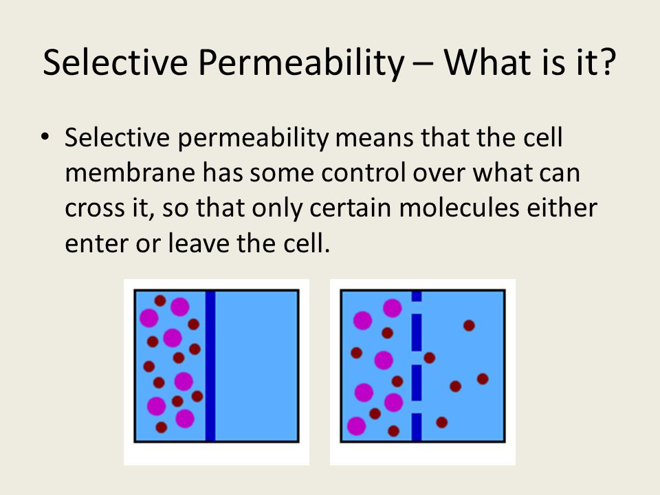 Selective Permeability – What is it