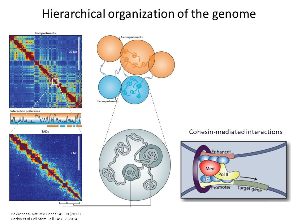 Hierarchical organization of the genome