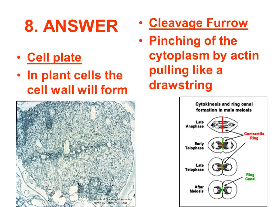 8. ANSWER Cleavage Furrow