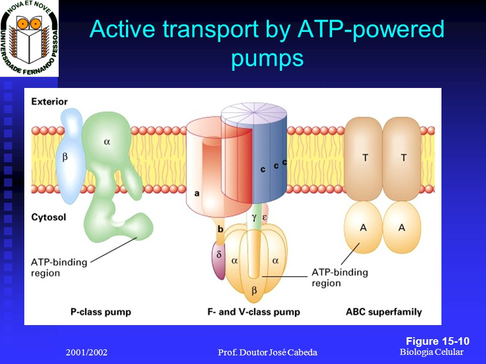 Active transport by ATP-powered pumps