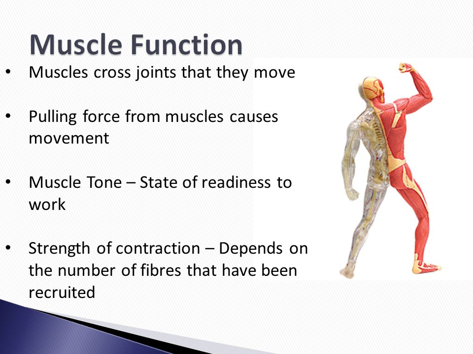 Muscle Function Muscles cross joints that they move