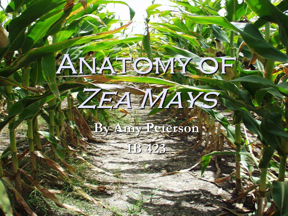 Anatomy of Zea Mays By Amy Peterson IB ppt download