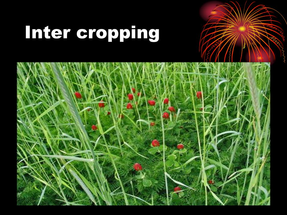 Inter cropping